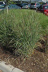 Ruby Ribbons Switch Grass (Panicum virgatum 'Ruby Ribbons') at Skillins Greenhouse
