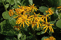Othello Rayflower (Ligularia dentata 'Othello') at Skillins Greenhouse