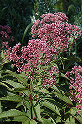 Gateway Joe Pye Weed (Eupatorium maculatum 'Gateway') at Skillins Greenhouse