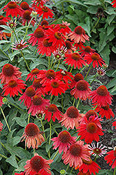 Sombrero® Salsa Red Coneflower (Echinacea 'Balsomsed') at Skillins Greenhouse
