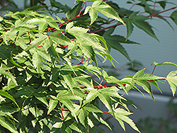 Kiyo Hime Japanese Maple (Acer palmatum 'Kiyo Hime') at Skillins Greenhouse