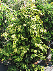 Confucius Gold Hinoki Falsecypress (Chamaecyparis obtusa 'Confucius Gold') at Skillins Greenhouse