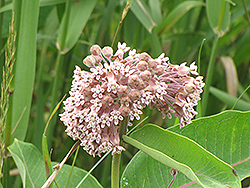Common Milkweed (Asclepias syriaca) at Skillins Greenhouse