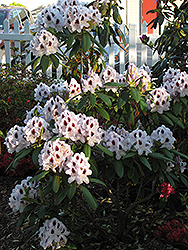 Calsap Rhododendron (Rhododendron 'Calsap') at Skillins Greenhouse