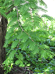 Dawn Redwood (Metasequoia glyptostroboides) at Skillins Greenhouse