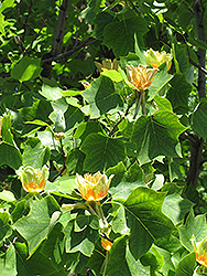 Tuliptree (Liriodendron tulipifera) at Skillins Greenhouse