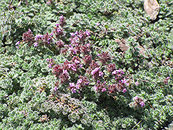 Wooly Thyme (Thymus pseudolanuginosis) at Skillins Greenhouse