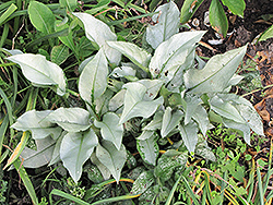 Silver Bouquet Lungwort (Pulmonaria 'Silver Bouquet') at Skillins Greenhouse