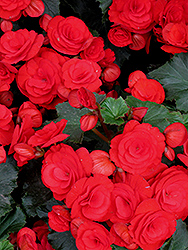 Nonstop® Red Begonia (Begonia 'Nonstop Red') at Skillins Greenhouse