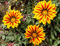 Treasure Flower (Gazania rigens) at Skillins Greenhouse