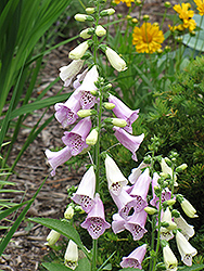Foxy Foxglove (Digitalis purpurea 'Foxy') at Skillins Greenhouse