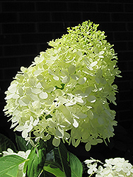 Limelight Hydrangea (Hydrangea paniculata 'Limelight') at Skillins Greenhouse