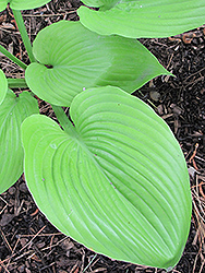 Sum and Substance Hosta (Hosta 'Sum and Substance') at Skillins Greenhouse