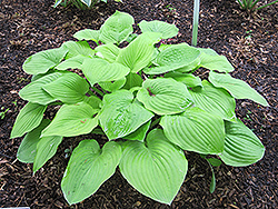 August Moon Hosta (Hosta 'August Moon') at Skillins Greenhouse