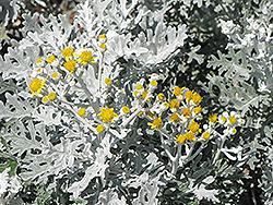 Silver Dust Dusty Miller (Senecio cineraria 'Silver Dust') at Skillins Greenhouse