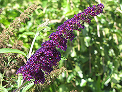Black Knight Butterfly Bush (Buddleia davidii 'Black Knight') at Skillins Greenhouse