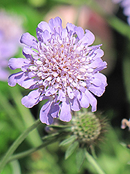 Butterfly Blue Pincushion Flower (Scabiosa 'Butterfly Blue') at Skillins Greenhouse