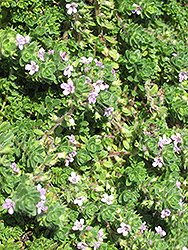 Pink Chintz Creeping Thyme (Thymus praecox 'Pink Chintz') at Skillins Greenhouse