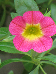 Superbells® Sweet Tart Calibrachoa (Calibrachoa 'Superbells Sweet Tart') at Skillins Greenhouse