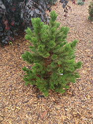Compact Gem Bosnian Pine (Pinus heldreichii 'Compact Gem') at Skillins Greenhouse