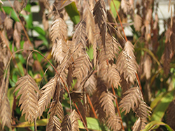 Northern Sea Oats (Chasmanthium latifolium) at Skillins Greenhouse