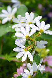 Whirlwind® White Fan Flower (Scaevola aemula 'Whirlwind White') at Skillins Greenhouse