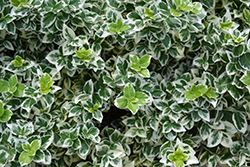 White Album® Wintercreeper (Euonymus fortunei 'Alban') at Skillins Greenhouse