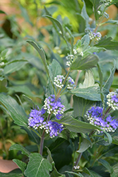 Beyond Midnight® Caryopteris (Caryopteris x clandonensis 'CT-9-12') at Skillins Greenhouse