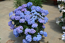 Let's Dance® Blue Jangles® Hydrangea (Hydrangea macrophylla 'SMHMTAU') at Skillins Greenhouse