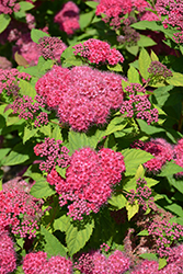 Double Play® Red Spirea (Spiraea japonica 'SMNSJMFR') at Skillins Greenhouse