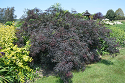 Black Lace® Elder (Sambucus nigra 'Eva') at Skillins Greenhouse