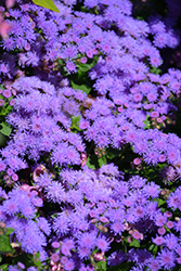 Artist Blue Flossflower (Ageratum 'Artist Blue') at Skillins Greenhouse