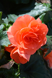 Nonstop® Deep Salmon Begonia (Begonia 'Nonstop Deep Salmon') at Skillins Greenhouse