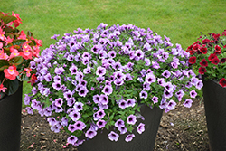 Supertunia® Bordeaux Petunia (Petunia 'Supertunia Bordeaux') at Skillins Greenhouse