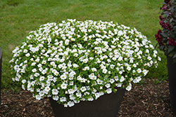 Superbells® White Calibrachoa (Calibrachoa 'Superbells White') at Skillins Greenhouse