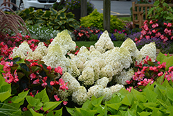 Little Lime® Hydrangea (Hydrangea paniculata 'Jane') at Skillins Greenhouse