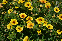 Superbells® Saffron Calibrachoa (Calibrachoa 'Superbells Saffron') at Skillins Greenhouse