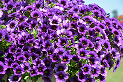 Superbells® Grape Punch Calibrachoa (Calibrachoa 'Superbells Grape Punch') at Skillins Greenhouse