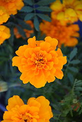 Safari Orange Marigold (Tagetes patula 'Safari Orange') at Skillins Greenhouse