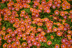 Fire Spinner Ice Plant (Delosperma 'Fire Spinner') at Skillins Greenhouse