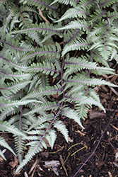 Godzilla Giant Japanese Painted Fern (Athyrium 'Godzilla') at Skillins Greenhouse