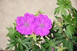 New Hampshire Purple Cranesbill (Geranium sanguineum 'New Hampshire Purple') at Skillins Greenhouse