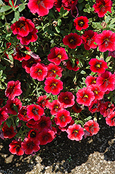 Superbells® Pomegranate Punch Calibrachoa (Calibrachoa 'Superbells Pomegranate Punch') at Skillins Greenhouse