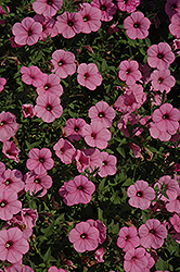 Supertunia® Flamingo Petunia (Petunia 'Supertunia Flamingo') at Skillins Greenhouse