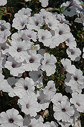 Supertunia® Mini Silver Petunia (Petunia 'Supertunia Mini Silver') at Skillins Greenhouse