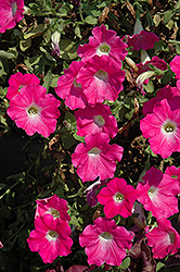 Supertunia® Mini Bright Pink Petunia (Petunia 'Supertunia Mini Bright Pink') at Skillins Greenhouse