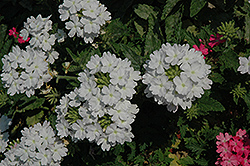 Lanai® Blush White Verbena (Verbena 'Lanai Blush White') at Skillins Greenhouse