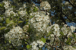 Cleveland Select Ornamental Pear (Pyrus calleryana 'Cleveland Select') at Skillins Greenhouse