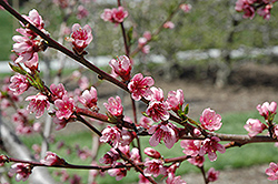 Reliance Peach (Prunus persica 'Reliance') at Skillins Greenhouse