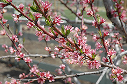 Redhaven Peach (Prunus persica 'Redhaven') at Skillins Greenhouse